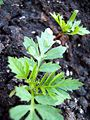 Tagetes-grow2.jpg