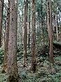 Taiwan Red Cypress.jpg
