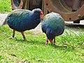 Takahe (50443874342).jpg