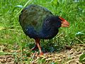 Takahe on Maud Island - panoramio.jpg