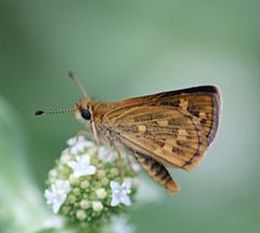 Tamil grass dart close.JPG