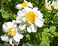 Tanacetum parthenium Blüten.JPG