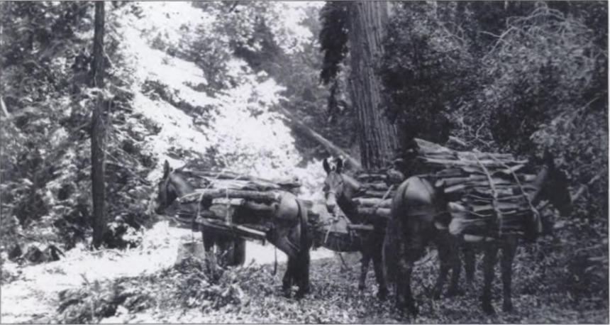 Tanbark Oak harvesting in Big Sur c1900