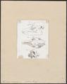 Tapirus americanus - schedel - 1700-1880 - Print - Iconographia Zoologica - Special Collections University of Amsterdam - UBA01 IZ22000305.tif