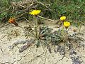 Taraxacum serotinum sl13.jpg