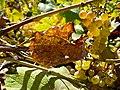 Tarnaveni - harvest - autumn colours - panoramio.jpg
