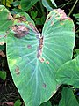 Taro (Colocasia esculenta)- Phytophthora leaf blight (15014950628).jpg