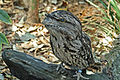 Tawny Frogmouth RWD.jpg