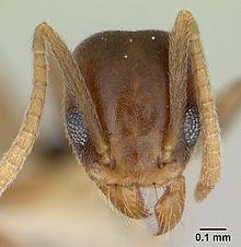 f4f455c4bb6 Myrer - Wikipedia, den frie encyklopædi