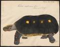 Testudo carbonaria - 1700-1880 - Print - Iconographia Zoologica - Special Collections University of Amsterdam - UBA01 IZ11600063.tif