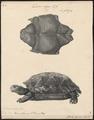 Testudo nigra - 1700-1880 - Print - Iconographia Zoologica - Special Collections University of Amsterdam - UBA01 IZ11600079.tif