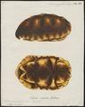 Testudo polyphemus - schild - 1700-1880 - Print - Iconographia Zoologica - Special Collections University of Amsterdam - UBA01 IZ11600055.tif