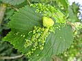 Tetraneura ulmi (Aphididae) - (gall), Elst (Gld), the Netherlands - 3.jpg