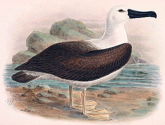 Indian yellow-nosed albatross - Illustration by Keulemans