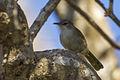 Thamnornis - Reniala Reserve - Ifaty - Madagascar S4E8810 (15110697209).jpg