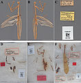 The-type-material-of-Mantodea-(praying-mantises)-deposited-in-the-National-Museum-of-Natural-zookeys-433-031-g018.jpg