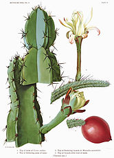 The Cactaceae Vol II, plate III filtered.jpg