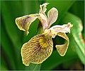 The Iris (15) (8096401029).jpg