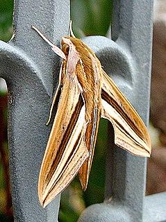 <i>Theretra oldenlandiae</i> Species of moth