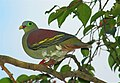 Thick-billed Green Pigeon (Treron curvirostra).jpg