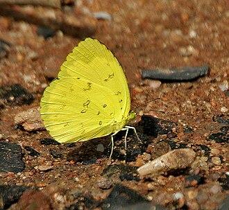 Eurema blanda - Image: Three spot Grass Yellow (Eurema blanda) in Talakona forest, AP W IMG 8186