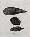 Three differently shaped pearls. Etching by Heath. Wellcome V0022000.jpg
