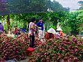 Thu hoach Thanh long, nha Ba Sau, quon long, Cho gao, Tien giang, vietnam - panoramio.jpg