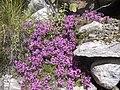 Thymus linearis (7814657498).jpg