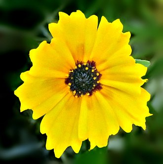 Coreopsis grandiflora - Coreopsis grandiflora sunburst