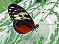 Tiger Longwing (Heliconius hecale) (6777352293).jpg