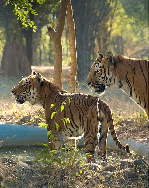 Tigers at the water hole