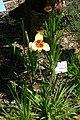 Tigridia pavonia, Conservatoire botanique national de Brest 02.jpg
