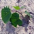 Tilia platyphyllos 'Panonia' chip budding.jpg