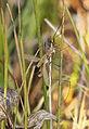 Tipula luteipennis, Cors Grfelog, North Wales, Sept 2014 3 (23366164051).jpg