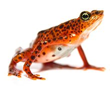 Toad Mountain Harlequin frog (Atelopus certus) pair (female crop).jpg