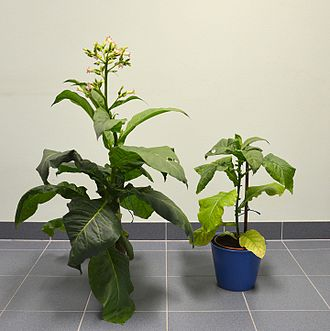 Cytochrome b6f complex - Tobacco (Nicotiana tabacum) cytochrome b6f mutant (right) next to normal plant. Plants are used in photosynthesis research to investigate the cyclic photophosphorylation.