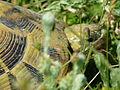 Tortoises in Krushevska Reka valley - P1100166.JPG