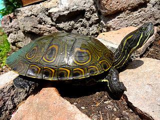 Meso-American slider species of reptile