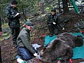 Tranquilized grizzly being measured and monitored (Northern Divide Grizzly Bear Project) (4427396831).jpg