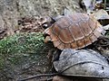 Travancore Tortoise.jpg