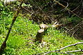 Tree downed by beaver along Tualatin River 2 - Oregon.JPG