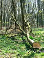 Tree felling, Cobham Frith (7) - geograph.org.uk - 1265359.jpg
