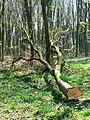 Tree felling, Cobham Frith (7) - geograph.org.uk - 1265359.jpg