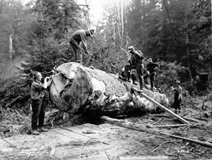 Loyal Legion of Loggers and Lumbermen - A tree felled for production by US troops.