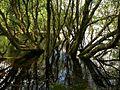 Tree in edge of Fernworthy Reservoir - geograph.org.uk - 897926.jpg