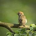 Tree sparrow (29769724923).jpg