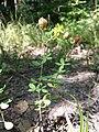Trifolium aureum sl19.jpg