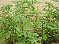 Trigonella foenum graecum-2-bangalore-India.jpg