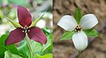 Trillium erectum comparing red and white color varieties.jpg