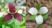 Trillium erectum - Trillium erectum - qwe.wiki